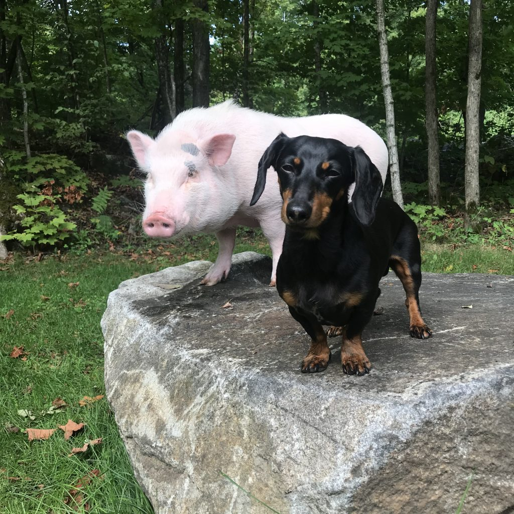 christopher the pig instagram