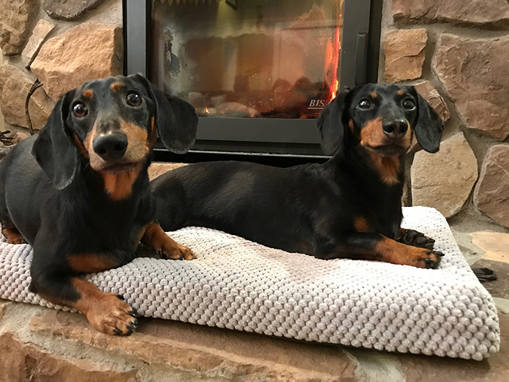 cute dachshunds by the fire