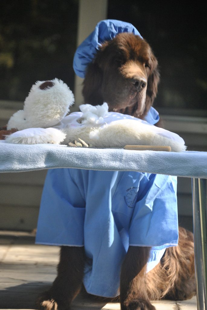 newfoundland dog dressed as surgeon for halloween