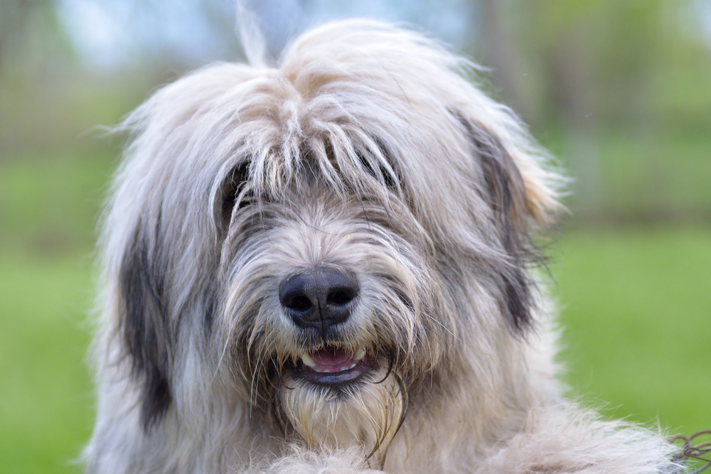 One glance at the Romanian Mioritic Shepherd Dog is all it takes to know that this breed was developed for herding and guarding livestock.