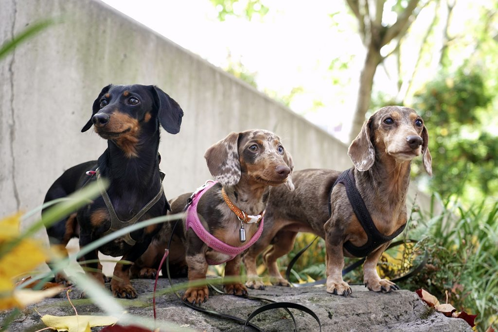 you did what with your wiener dachshunds