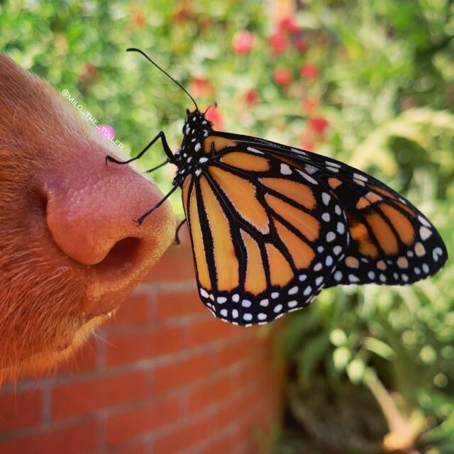 Nose butterfly